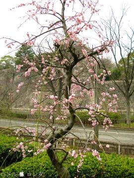 Plum Blossom 020